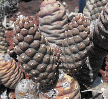Tephrocactus articulatus var. strobiliformis 9