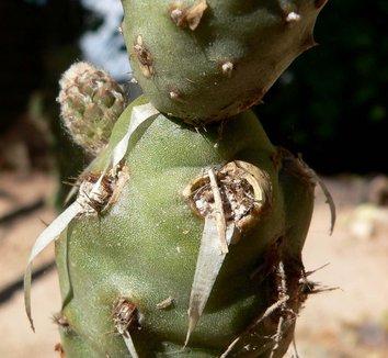 Tephrocactus articulatus var. strobiliformis 16 form