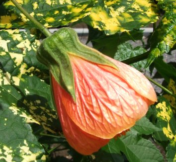 Abutilon pictum 'Thompsonii' 6 flower