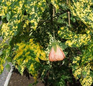 Abutilon pictum 'Thompsonii' 1 flower