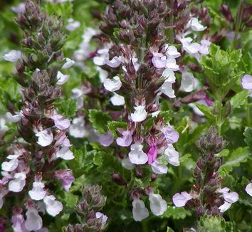 Teucrium chamaedrys 'Prostratum' 1 flower