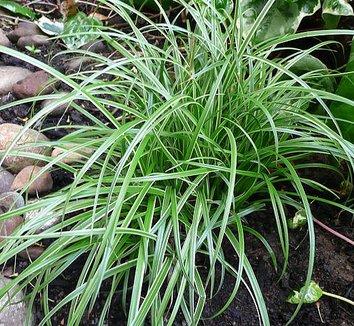 Carex 'Silver Sceptre' 5 form