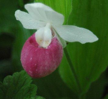 Cypripedium reginae 6 flower