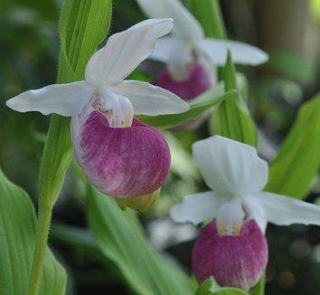 Cypripedium reginae 1 flower