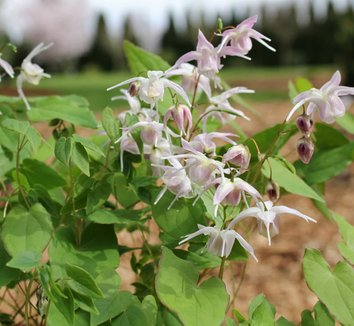 Epimedium 'Akebono' 1 flower