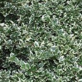 Euonymus 'Emerald Gaeity'