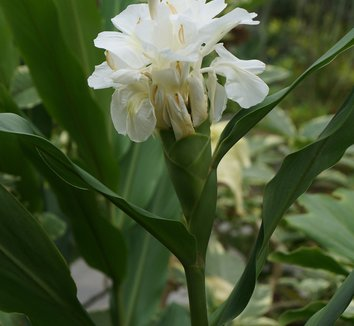 Hedychium coronarium 12 flower
