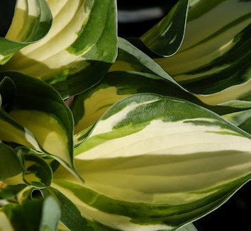 Hosta 'Fire and Ice' 8