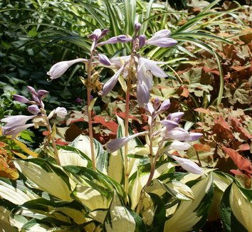 Hosta 'Fire and Ice' 10 flower