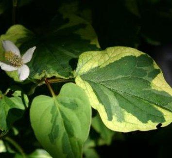 Houttuynia cordata 'Chameleon' 9 flower