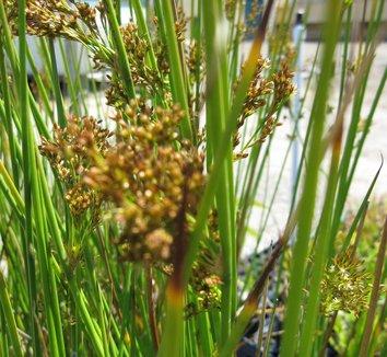 Juncus effusus 1 flower
