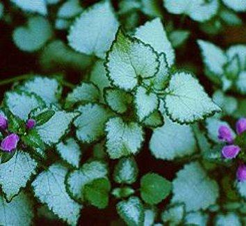 Lamium maculatum 'Beacon Silver' 1