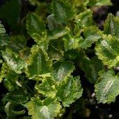 Lamium maculatum 'Dellam' PP11783