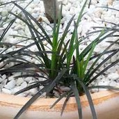 Ophiopogon 'Black Dragon'