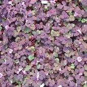 Oxalis 'Purple Dress'