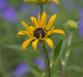 Rudbeckia fulgida 'Goldsturm' 4 flower