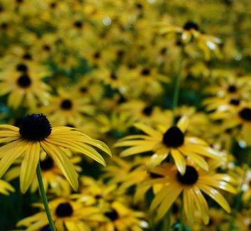 Rudbeckia fulgida 'Goldsturm' 9 flower