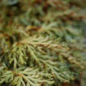 Selaginella erythropus 'Sanguinea'