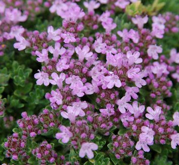 Thymus praecox 'Bressingham' 1 flower