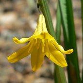 Triteleia crocea var. crocea