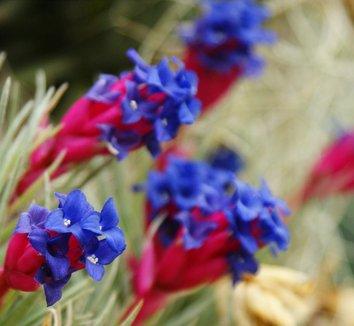 Tillandsia aeranthos 1 flower