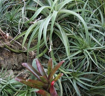 Tillandsia albertiana 1 form