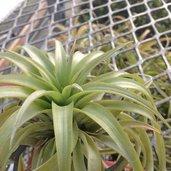 Tillandsia brachycaulos 'Green'