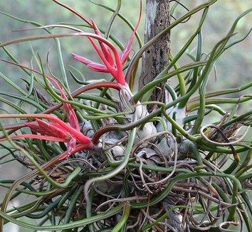 Tillandsia bulbosa 3 flower, form