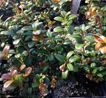 Vaccinium vitis idaea 'Red Pearl' 1