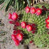 Echinopsis bruchii