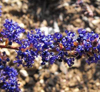 Ceanothus 'Blue Sapphire' 1 flower