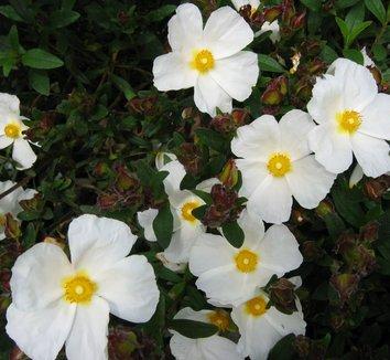 Cistus x dansereaui 'Portmeirion' 1 flower