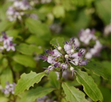 Dichroa species [Dwarf] 1 flower