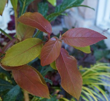 Hydrangea aspera [red leaf form] 1