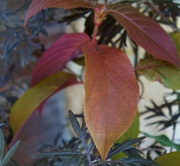 Hydrangea aspera [red leaf form] 6