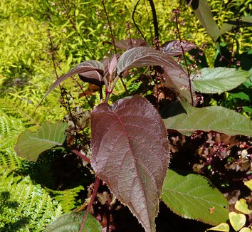 Hydrangea aspera [red leaf form] 8