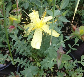 Hypericum olympicum f. uniflorum 'Citrinum' 3 flower