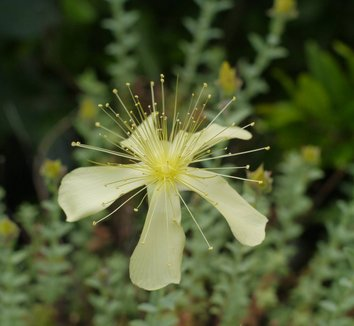 Hypericum olympicum f. uniflorum 'Citrinum' 1 flower