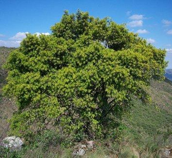 Podocarpus parlatorei [cl 1 Cistus plant] 1 form