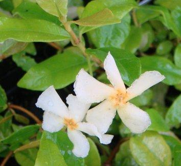 Trachelospermum asiaticum 'Ogon' 4 flower
