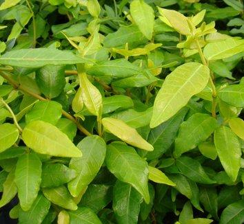 Trachelospermum asiaticum 'Ogon' 1 flower