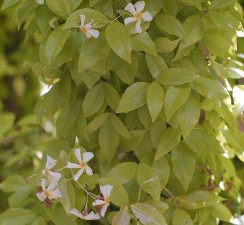 Trachelospermum asiaticum 'Ogon' 5 flower