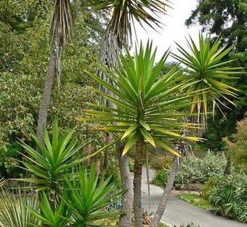 Yucca aloifolia spanish bayonet plant lust for Yuka exterieur