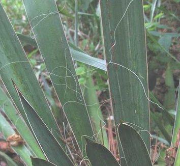 Yucca filamentosa 2