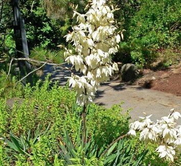 Yucca filamentosa 7 flower, form