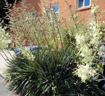 Yucca filamentosa 14 flower