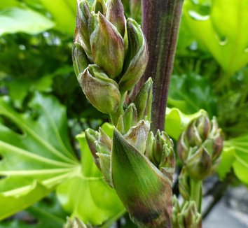 Yucca filamentosa 17