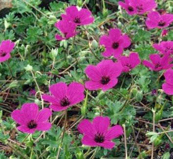 Geranium cinereum 'Subcaulescens' 1 flower, form