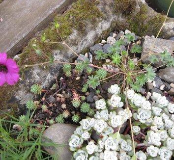 Geranium cinereum 'Subcaulescens' 5 form