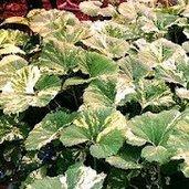 Petasites japonica 'Variegata'